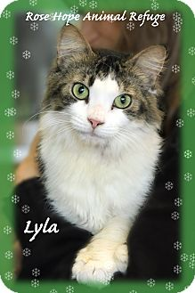 Domestic Shorthair Cat for adoption in Waterbury, Connecticut - Lyla
