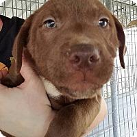 Adopt A Pet :: Courage - Gainesville, FL
