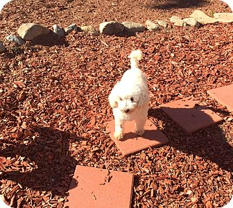 Maltese/Poodle (Toy or Tea Cup) Mix Dog for adoption in Corona, California - Elgie Franze a French Poodle