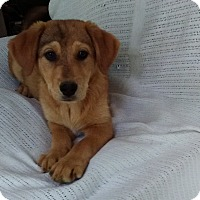Adopt A Pet :: Katie Bug-pending adoption - Manchester, CT