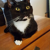 Domestic Shorthair Cat for adoption in Studio City, California - BG - super flirt