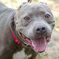 Adopt A Pet :: LITTLE BLUE - Los Angeles, CA