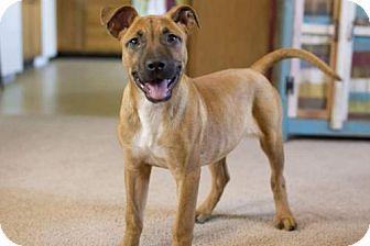 Boxer Mix Dog for adoption in Glastonbury, Connecticut - Tess-pending