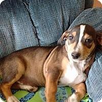 Adopt A Pet :: Clover - Allentown, PA