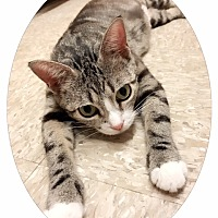 Domestic Shorthair Cat for adoption in Conway, South Carolina - Bella