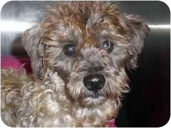 Schnauzer (Miniature)/Poodle (Miniature) Mix Dog for adoption in Mobile, Alabama - Maurice