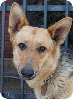 German Shepherd Dog/Collie Mix Dog for adoption in Los Angeles, California - Cleo von Carlsberg