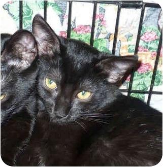 Domestic Shorthair Kitten for adoption in Colmar, Pennsylvania - LouWeesey