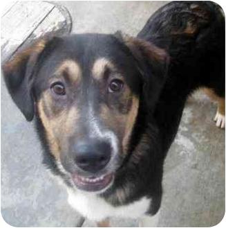 Australian Shepherd/Bernese Mountain Dog Mix Dog for adoption in Chicago, Illinois - Harley(ADOPTED!)