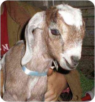Goat for adoption in Sac, California - Mocha