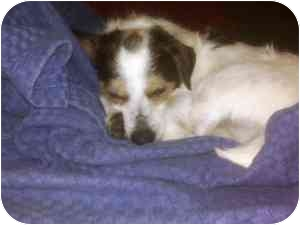 Jack Russell Terrier Dog for adoption in Austin, Texas - Buddy in Houston