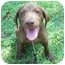 Photo 1 - Labrador Retriever Mix Puppy for adoption in Cumming, Georgia - Arnold
