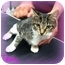 Photo 3 - Domestic Shorthair Cat for adoption in Orlando, Florida - Tabby