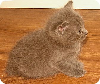 Domestic Mediumhair Kitten for adoption in Florence, Kentucky - Louisa
