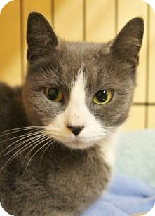 Domestic Shorthair Kitten for adoption in Medford, Massachusetts - Cheri