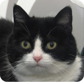Domestic Shorthair Cat for adoption in Ithaca, New York - Catlin 14393-c