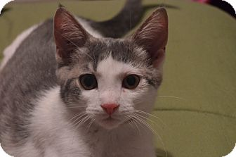Domestic Shorthair Cat for adoption in Milford, Michigan - Spartacus