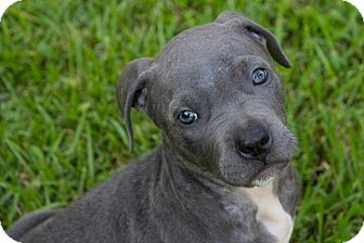 Pit Bull Terrier/American Staffordshire Terrier Mix Puppy for adoption in New Orleans, Louisiana - Pippa
