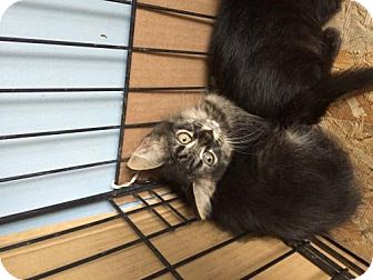 Domestic Mediumhair Kitten for adoption in San Marcos, Texas - Future attractions!!