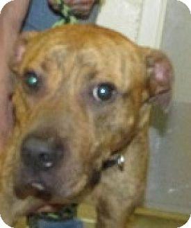 Bulldog Mix Dog for adoption in Aiken, South Carolina - SEBASTIAN
