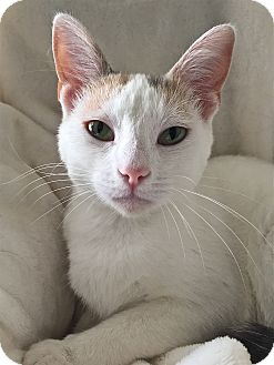 Domestic Shorthair Cat for adoption in South Haven, Michigan - Ringtail