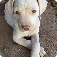 Adopt A Pet :: Kai - Gilbert, AZ