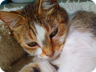 Domestic Shorthair Cat for adoption in Ft. Lauderdale, Florida - Summer