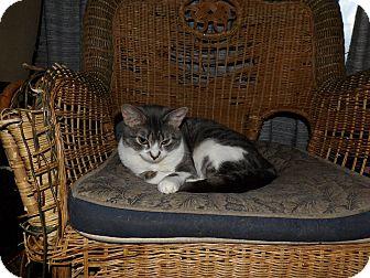 Domestic Shorthair Cat for adoption in Hazel Park, Michigan - Cuddles
