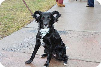 Border Collie Dog for adoption in Pottsville, Pennsylvania - Sophia