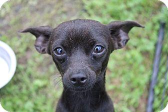 Chihuahua Mix Dog for adoption in Lodi, California - Leroy