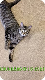 American Shorthair Cat for adoption in Tiffin, Ohio - CHUNKERS