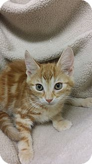Domestic Shorthair Kitten for adoption in Berlin, Connecticut - King