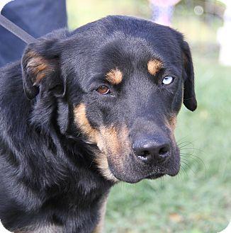 Husky/Labrador Retriever Mix Dog for adoption in Marietta, Ohio - Reese