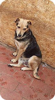 German Shepherd Dog/Beagle Mix Dog for adoption in Westminster, California - Josefina