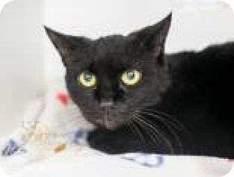 Domestic Shorthair Cat for adoption in Reisterstown, Maryland - Jet