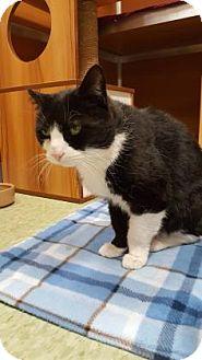 Domestic Shorthair Cat for adoption in Gloucester, Massachusetts - Tilly