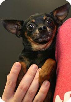 Chihuahua Mix Dog for adoption in Philadelphia, Pennsylvania - Torro