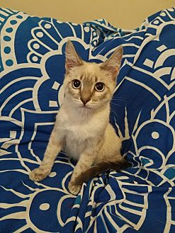 Siamese Cat for adoption in Los Angeles, California - Jethro