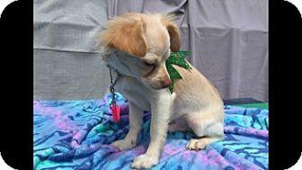 Pomeranian/Chihuahua Mix Dog for adoption in Elk Grove, California - BRAM
