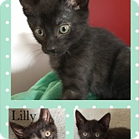 Domestic Shorthair Kitten for adoption in Canton, Ohio - Lilly