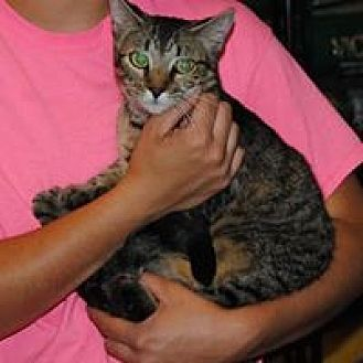Domestic Shorthair Cat for adoption in Parsons, Kansas - Liddy