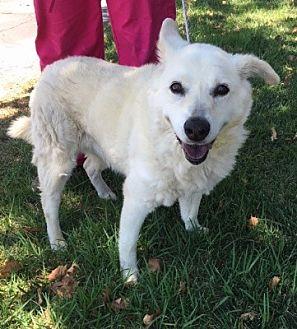 Labrador Retriever/Shepherd (Unknown Type) Mix Dog for adoption in Temecula, California - Tammy
