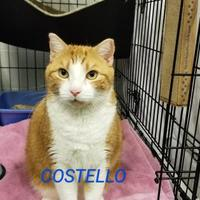 Adopt A Pet :: Costello - Twinsburg, OH