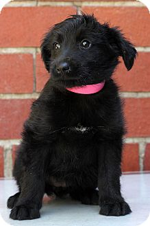 Terrier (Unknown Type, Medium)/Retriever (Unknown Type) Mix Puppy for adoption in Waldorf, Maryland - Kaci