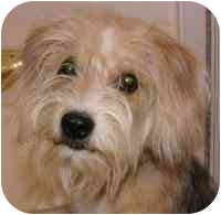 Wirehaired Fox Terrier/Terrier (Unknown Type, Small) Mix Puppy for adoption in New Philadelphia, Ohio - Mitsy