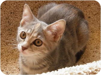 Domestic Shorthair Kitten for adoption in Dale City, Virginia - Minnie