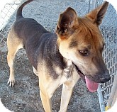 Shar Pei/Shepherd (Unknown Type) Mix Dog for adoption in Silver City, New Mexico - Charlie Chan