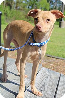 Chihuahua/Whippet Mix Puppy for adoption in Hamburg, Pennsylvania - Rascal