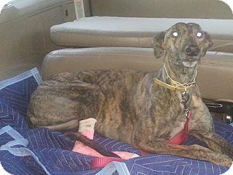 Greyhound Dog for adoption in Vidor, Texas - Jenna