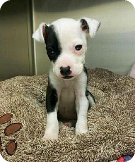 Boston Terrier Mix Puppy for adoption in Elmwood Park, New Jersey - Puddles